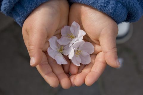 さくらの花を拾った下の子